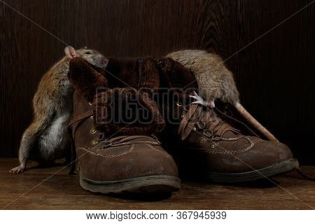Close-up Of Two Rats And   Brown Boots On The Wooden Floors. One Rat Stands Near  Of Boot. The Conce