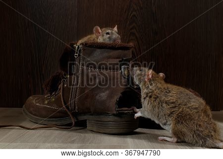 Close-up Of Two Rats And   Brown Boots On The Gray Floors. One Rat Looks Out Of A Boot. The Concept
