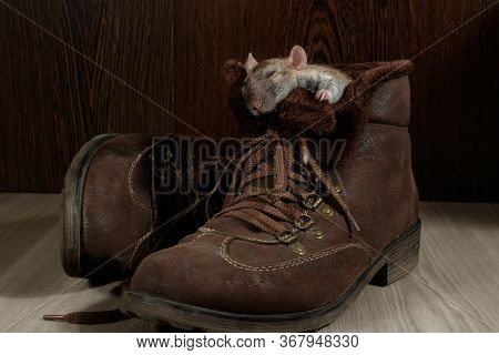 A Rat Sleeping In A Brown Shoe On A Gray Floor. The Concept Of Rodent Control  In The Apartment. Ext