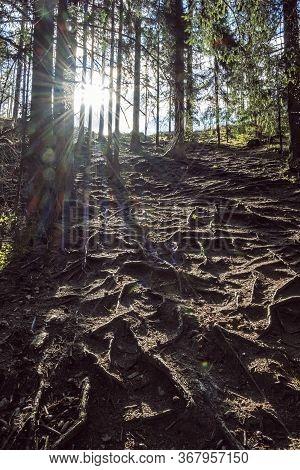 Coniferous Forest, Western Tatras Mountains, Slovak Republic. Hiking Theme. Sunrays Scene.