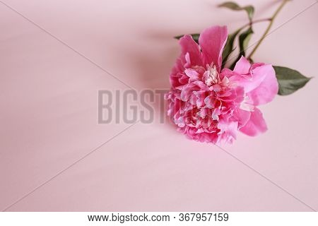 Large Pink Peony On A Pink Background. Banner. Stylistic Summer Background Image. Minimalism, Space