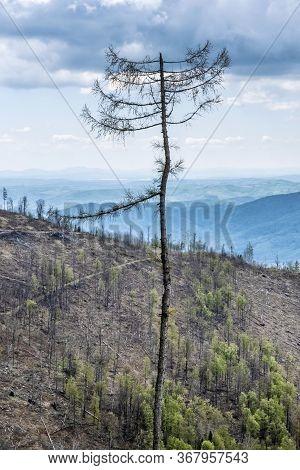 Dried Tree, Stolica Mountains, Slovak Republic. Forest Calamity Theme. Seasonal Natural Scene.