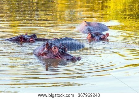 Hippo, or hippopotamus - semi-aquatic herbivore. Small herd of hippos spends daytime in the lake. Kruger Park. Sunny summer day. Travel to South Africa. The concept of exotic and photo tourism