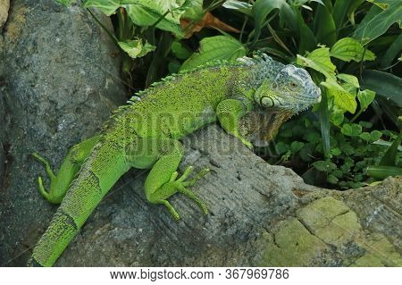 Chinese Water Dragon Lizard. Is A Species Of Agamid Lizard Native To China And Mainland Southeast As