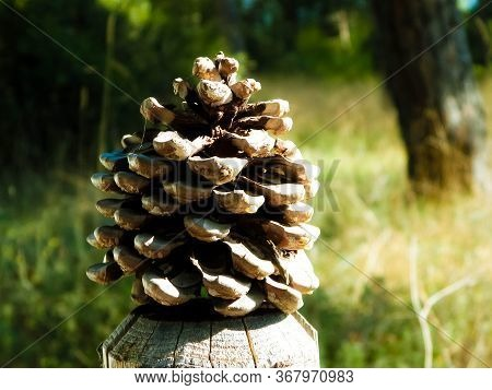 Close Up Of Brown Pinecone. Nature Concept.