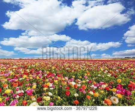 Wonderful warm spring weather. Picturesque fields of buttercups in the Israeli kibbutz. Annual large multi-colored flowers. The concept of botanical, environmental and photo tourism