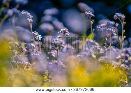 Flower Power Bokeh Photo Of Myosotis Plants, Flora With Blue And Yellow Plants In Front Of A Blurry
