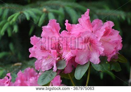 Rhododendron Helsinki University in garden. Season of flowering azaleas (rhododendron).
