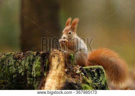 Cute Red Squirrel With Long Pointed Ears Eats A Seeds In Autumn Orange Scene With Nice Deciduous For