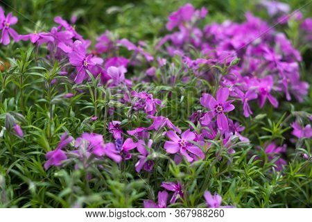 Lilac Phlox Subulata (creeping Phlox) - Creeping Plant With Small Pink Flowers To Decorate Flower Be