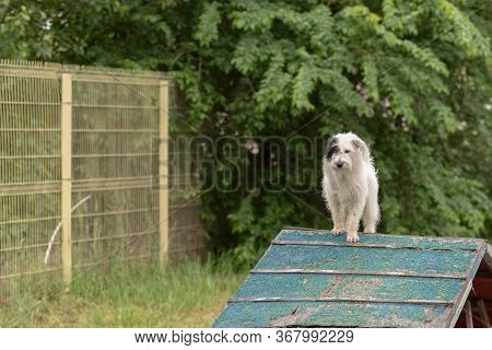 White Dog Without Breed Passes An Obstacle Slide In Agility Class