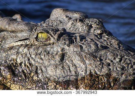 Nile Crocodile, Crocodylus Niloticus, Chobe River, Chobe National Park, Botswana, Africa