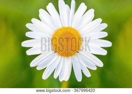Close Up Of White Marguerite Flowers In Meadow. Flower Is Also Called Ox-eye Daisy, Oxeye Daisy Or D