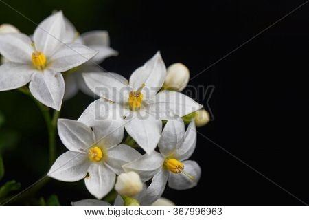 Flowers Of A Jasmine Nightshade, Solanum Laxum