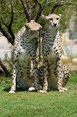 Two young cheetahs sitting on the grass side by side poster
