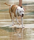 a pit bull mix at a public pool poster
