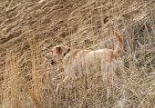 a labrador retriever in a field poster