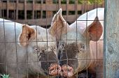 Pair of pigs in a pig pen. poster