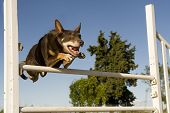 brown australian cattle dog jumping in a competition of agility poster