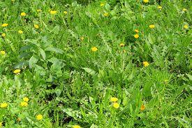 Bright Yellow Flowers Dandelions In Green Grass. Taraxacum Closeup Stock Photo. Fresh Festive Summer
