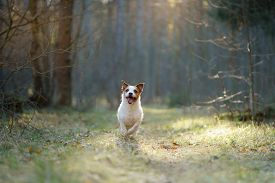 Dog In The Forest. Jack Russell Terrier . Tracking In Nature. Pet Resting