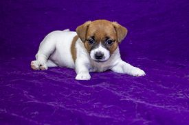Jack Russell Terrier Puppy Bitch Puppy Lies On A Purple Bedspread. Puppy Food Advertisement