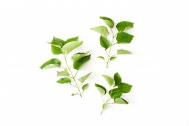 Branches With Green Leaves Of Lilac Flat Lay Isolated On White Background Top View With Copy Space.