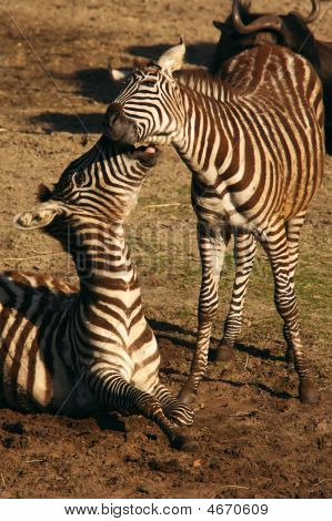 Two young zebras playing on a sunny afternoon poster
