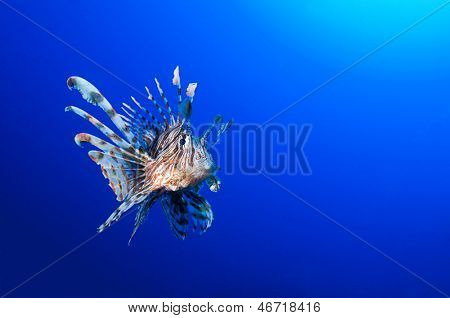 Pterois volitans, Lionfish with space for your text