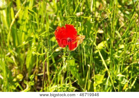 Beautiful Red Corn Poppy On Field