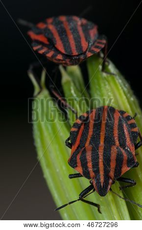 Red and black striped minstrel bugs on green leaf.