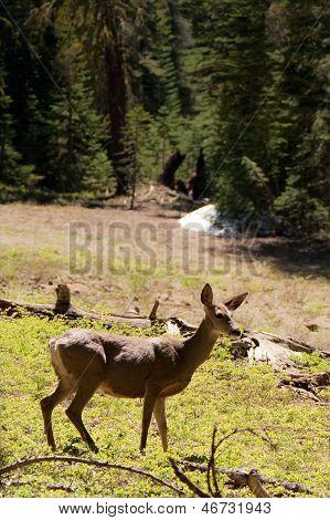 Deer In The Yosemite Park