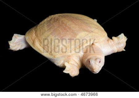 Albino Chinese Soft-shell Turtle