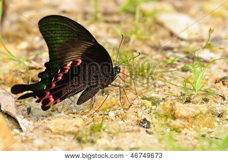 Butterfly(papilio Dialis)