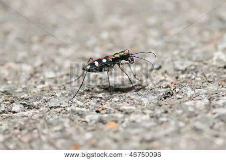 Tiger Beetle(cicindela Aurulen)
