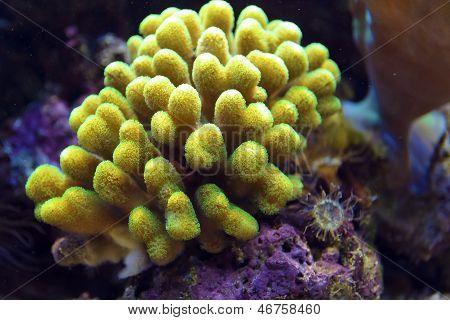 Green Pocillopora