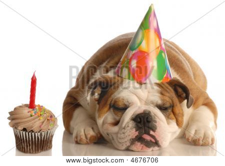 party pooper - English bulldog with birthday party hat laying beside chocolate cupcake poster