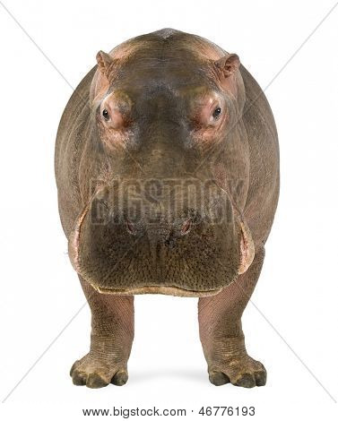 Hippopotamus - Hippopotamus amphibius, facing the camera, isolated on white