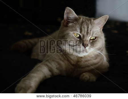Domestic Cat (british Shorthair)