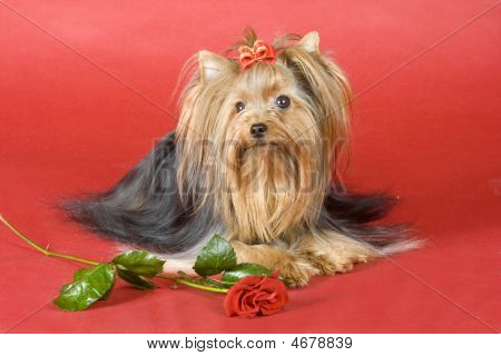 Yorkshire Terrier On Red Background