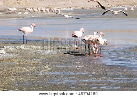 Flamingos on lake in Andes the southern part of Bolivia poster