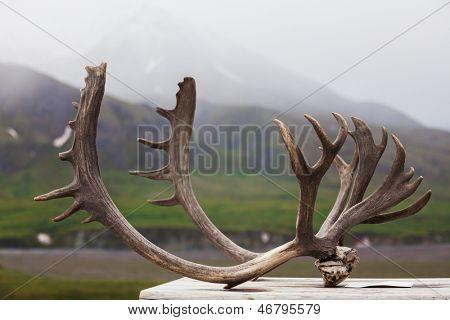 Horns in Denali NP,Alaska