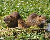 A nutria family in the swamp. poster