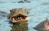 Hippopotamus (Hippopotamus Amphibius) Showing Teeth Serengeti Tanzania poster
