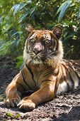 Bengal- or Asian tiger in morning sun with background of bamboo bushes poster