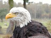 the head of a bald eagle poster