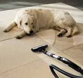 the dog lies on the beige carpet and looks at vacuum cleaner poster