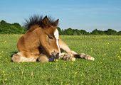 Cute Brown Pony Foal Laying on Grass in the New Forest England poster