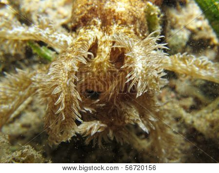 Sea cucumber mouth