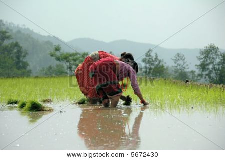 Women Planting Rice in Kathmandu